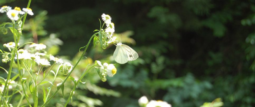 高尾山の蝶